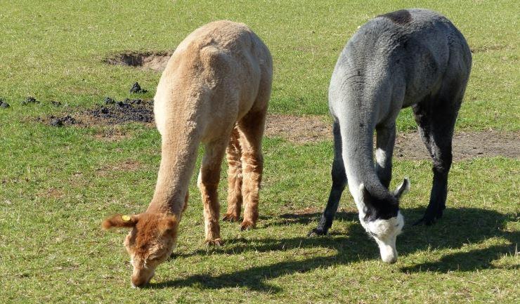 659c896e198 licg.nl - Lama en alpaca