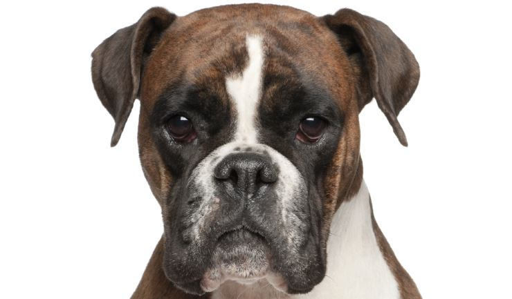 Boxer Dog Pictures For Sale
