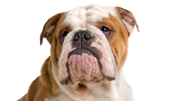 licg nl engelse bulldog