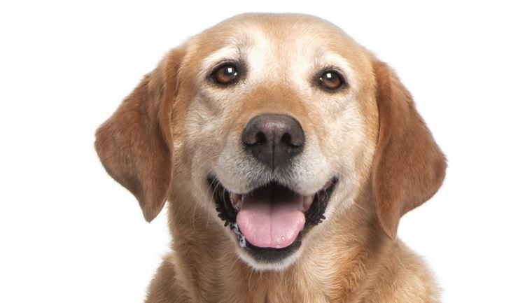 Licgnl Labrador Retriever