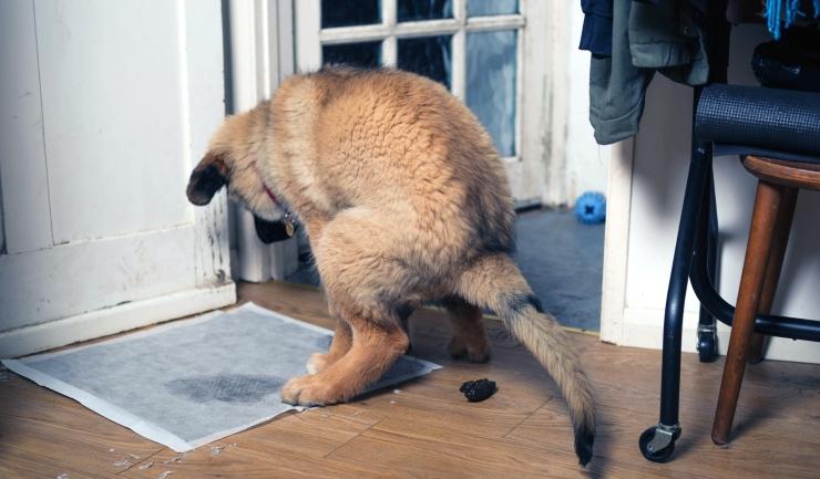 Onzindelijkheid Bij De Hond