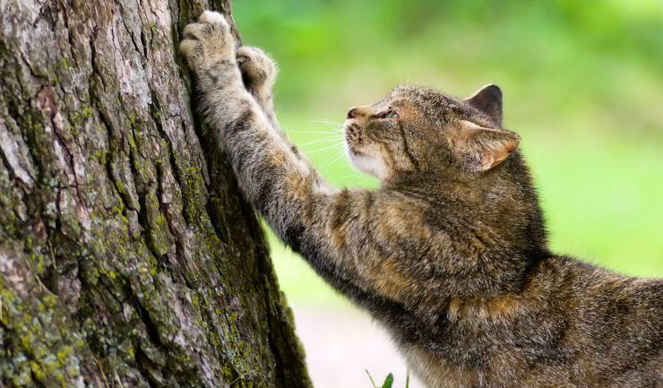 Licgnl Krabgedrag Bij De Kat